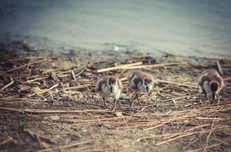 Kücken am See